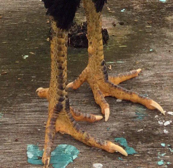 Poule Avec plumes de coq 2,5 kg pour repro 2016