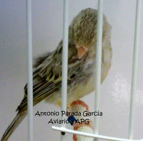 pollo agata topacio blanco (40 días) 2011