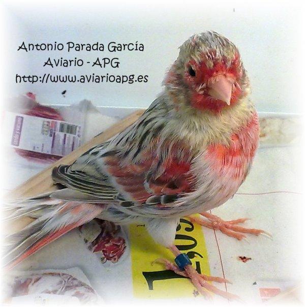 Pollo agata topacio rojo mosaico 2011