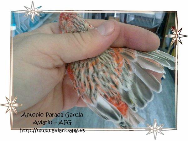 Dorso macho agata topacio rojo mosaico 2011