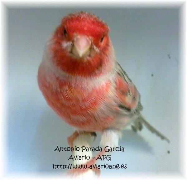 Agata Topacio Rojo Mosaico 2011