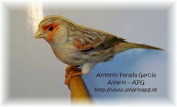 Hembra Agata Topacio Rojo Mosaico 12011