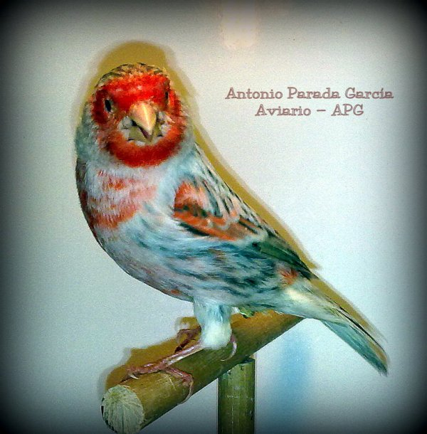 Agata Topacio Rojo Mosaico