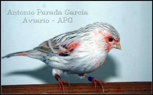 Hembra Agata Topacio Rojo Mosaico
