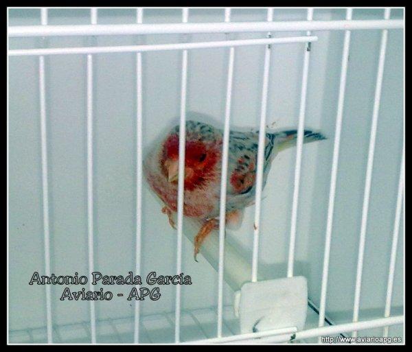 Agata Topacio Rojo Mosaico 2012