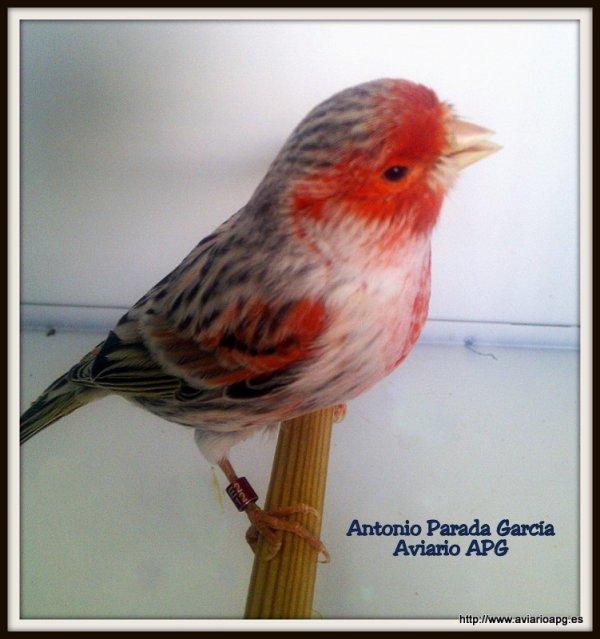 Macho Agata Topacio Rojo Mosaico 2012