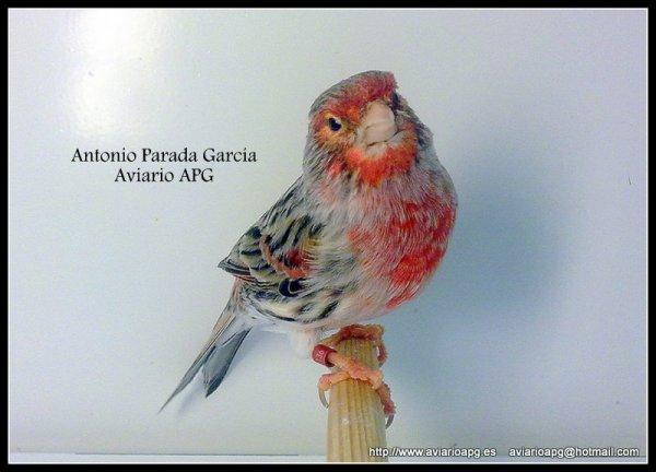 Agata Rojo Mosaico