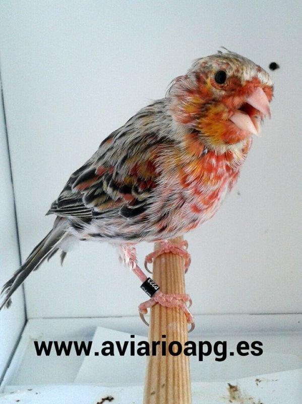Agata topacio rojo mosaico / topacio 2013