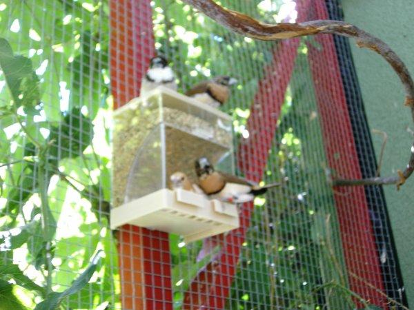 Exotiques divers en voli re ext rieure mes petits for Oiseaux pour voliere exterieure