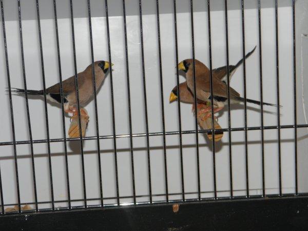 Reproductions 2011 (Australiens et Océaniens)