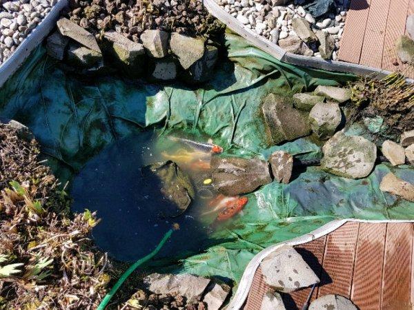 Vidange du bassin à carpes