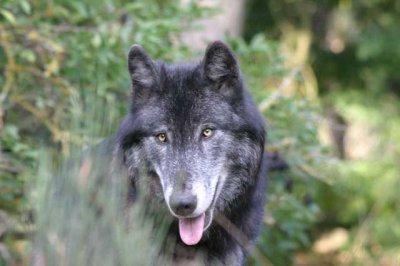 Les loups.