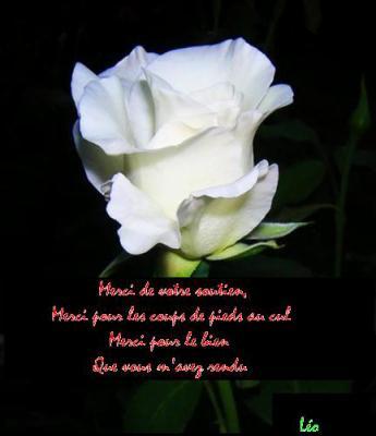 Rose blanche redevance un ange m 39 a dit qu 39 en attendant ulysse - Rose de noel blanche ...