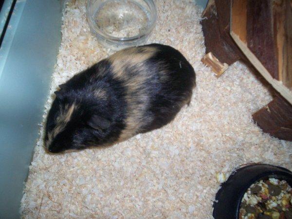 <3 Haribo, notre nouveau cochon d'inde <3