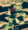 Une petite rose pour vous