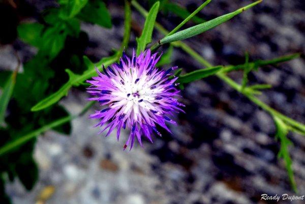 La fleur de l'ange Dupont!!!!