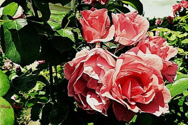Quelques roses pour vous souhaiter une belle journée.