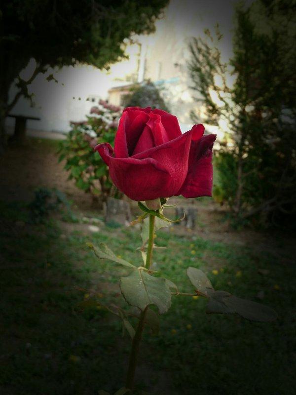 Vous prendrez bien une petite rose ?