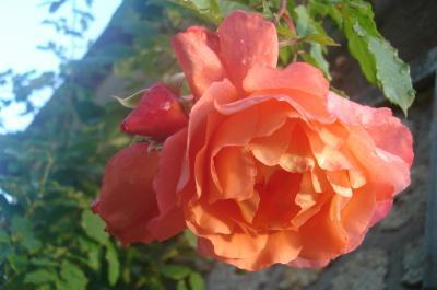 Les roses de ma Laudinette ...