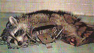 Image result for pièges à machoires