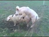 La fin de la castration des cochons, c'est pour demain en France.