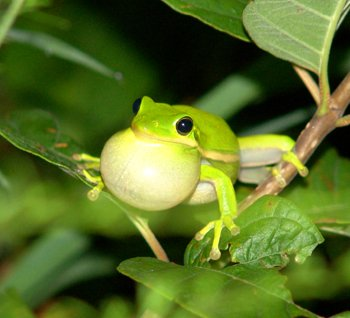 Les grenouilles, reines de l'imposture en matière de séduction.