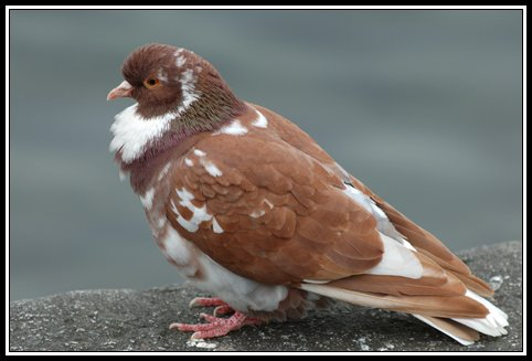 Est-ce que le pigeon roux coule ?
