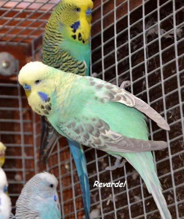 Perruches ailes grises et masque jaune janvier 2016