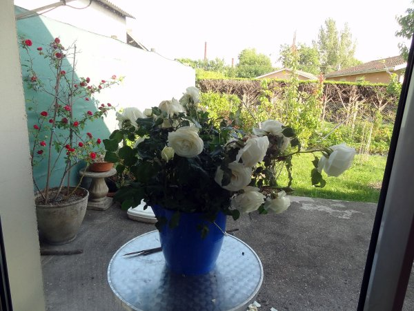 Mes roses blanches