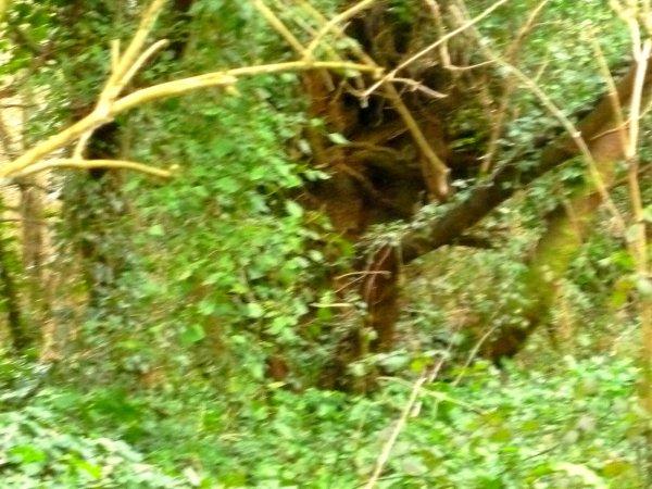 Un Ent ?  Photo du 12 02 2010: Les Ents sont les géants des forêts, mi-hommes, mi-arbres, dont le corps est composé d'un tronc à l'écorce rugueuse semblable aux chênes.