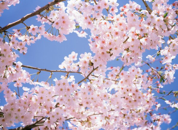 Je suis symptôme cerisier ///
