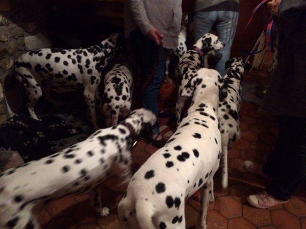 9 dalmatiens à la maison ...