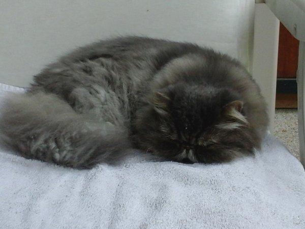 Ma Passion pour les Chats - Loving mon persan