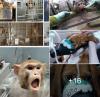 Téléthon de la Torture de la Barbarie Chiens, souris, singes, tout le monde y passe