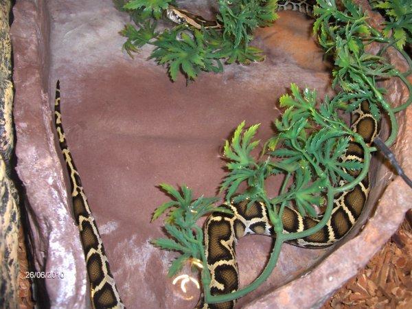 IRIS mon python molure bivittatus 26.062010