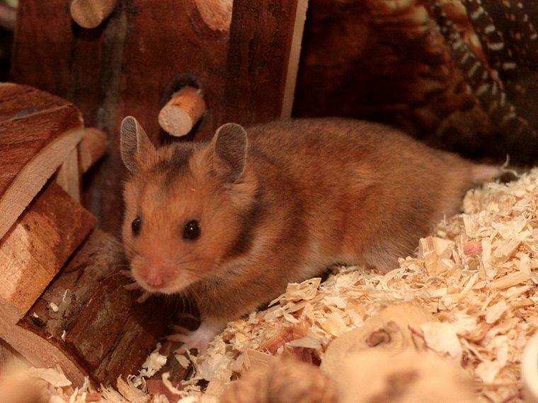 Présentation du Hamster syriens.