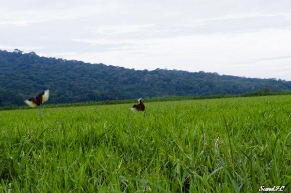 6274 / Les marais de Kaw avec Patou et Bounette