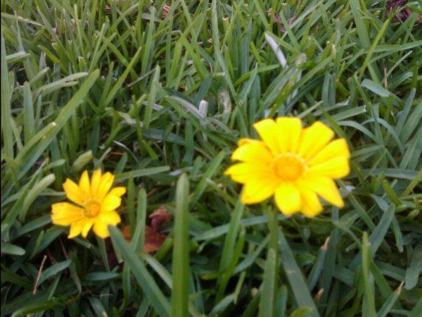 fleure jaune