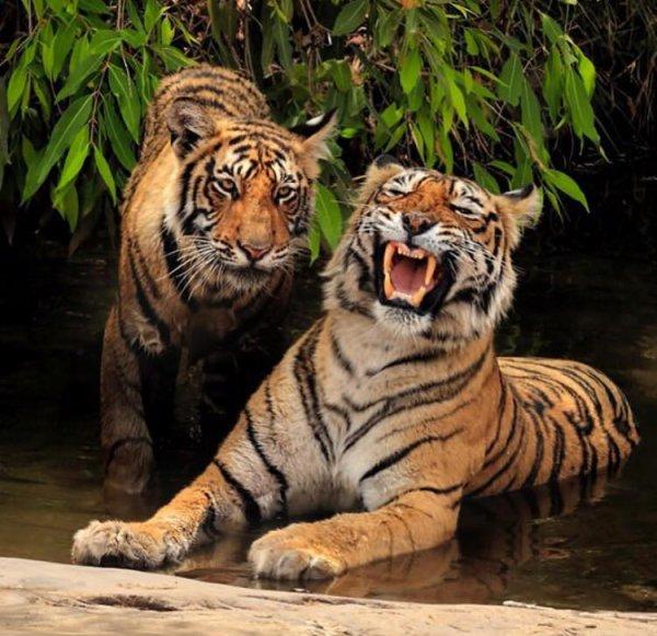 LES TIGRES EN VOIES DE DISPARITIONS A CAUSE DES C.... DE CHASSEUR POUR LEUR TROPHEES