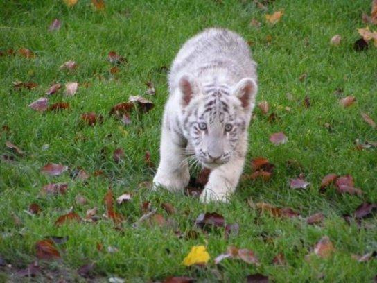 encore des tigres blanc