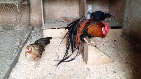 mon coq onagadori