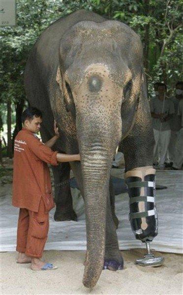 Elephant amputé