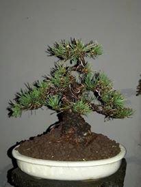 mamé pin noir