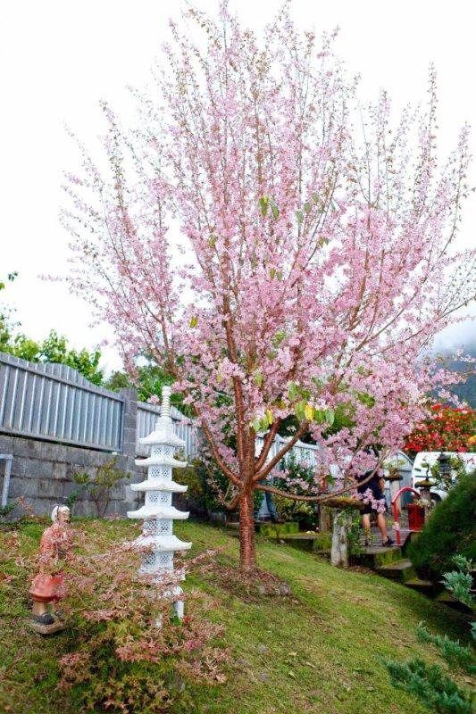 mon cerisier