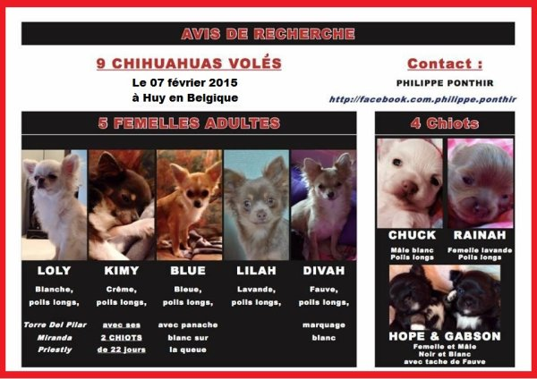 9 chihuahuas volés en Belgique !!!