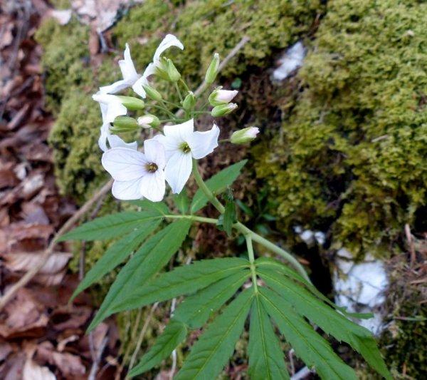 fleurs des Préalpes
