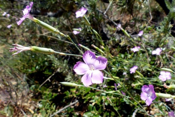 fleurs du littoral varois