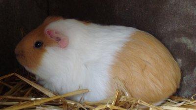 cochon-d'inde (femelle)