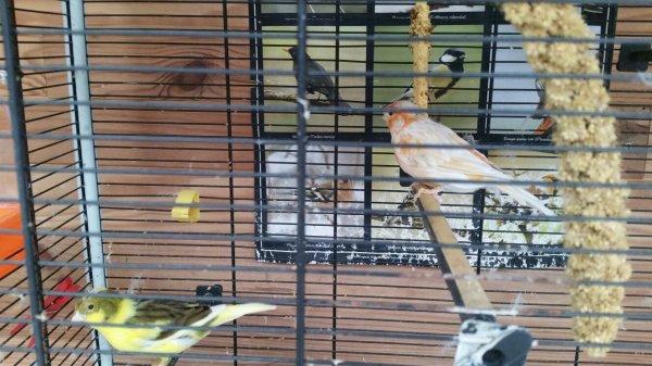 J'ai trouvé mes femelles canaris