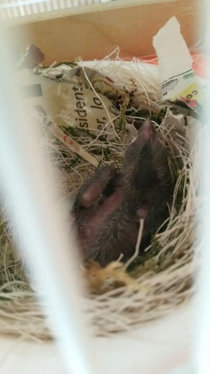 Bébé canaris